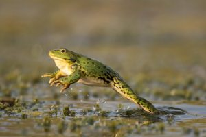 Green frog jumping out